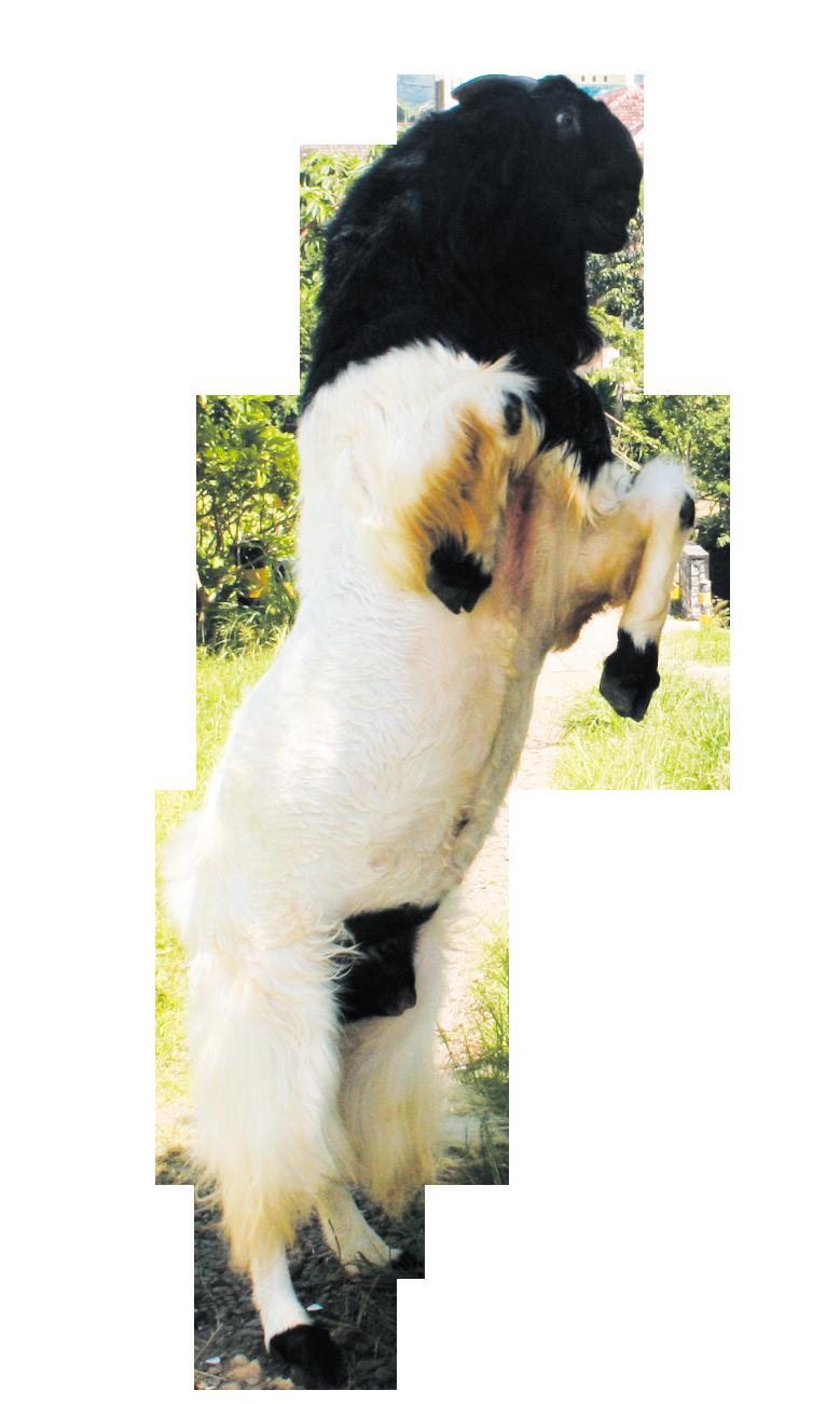 cara penggemukan ayam bangkok